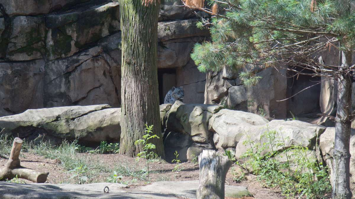 A snow leopard stalks its enclosure at the Philadelphia Zoo. There are fewer than 7,000 left in the wild.