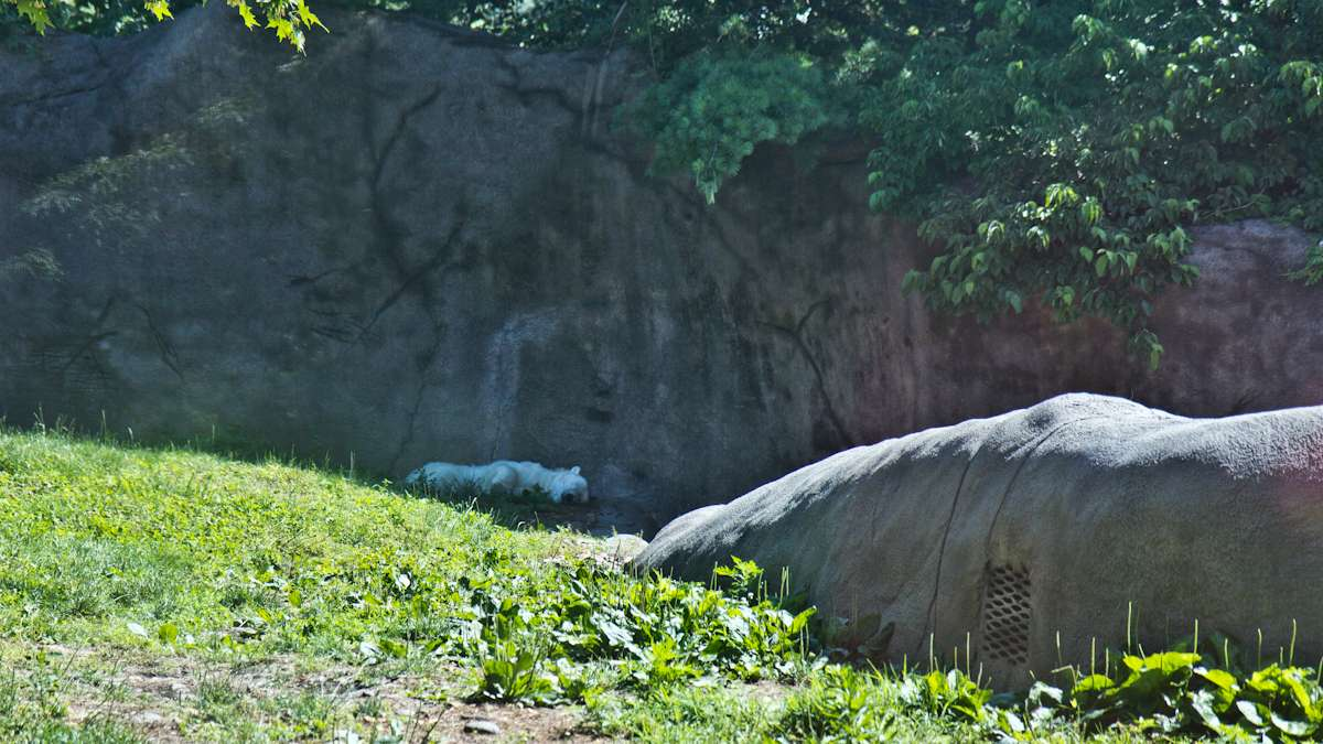 Coldilocks, a 36-year-old polar bear, naps in the shade at the Philadelphia Zoo.