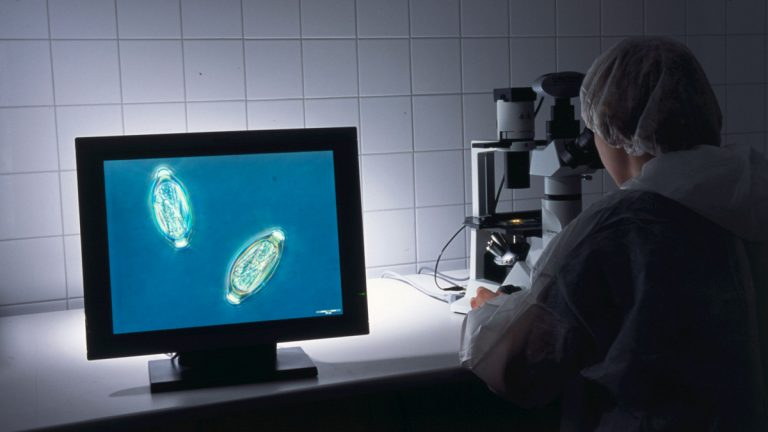 A technician looks at pig whipworm eggs through a microscope in the lab where they are produced and purified. (Photo courtesy of John Fleming, Detlev Goj)