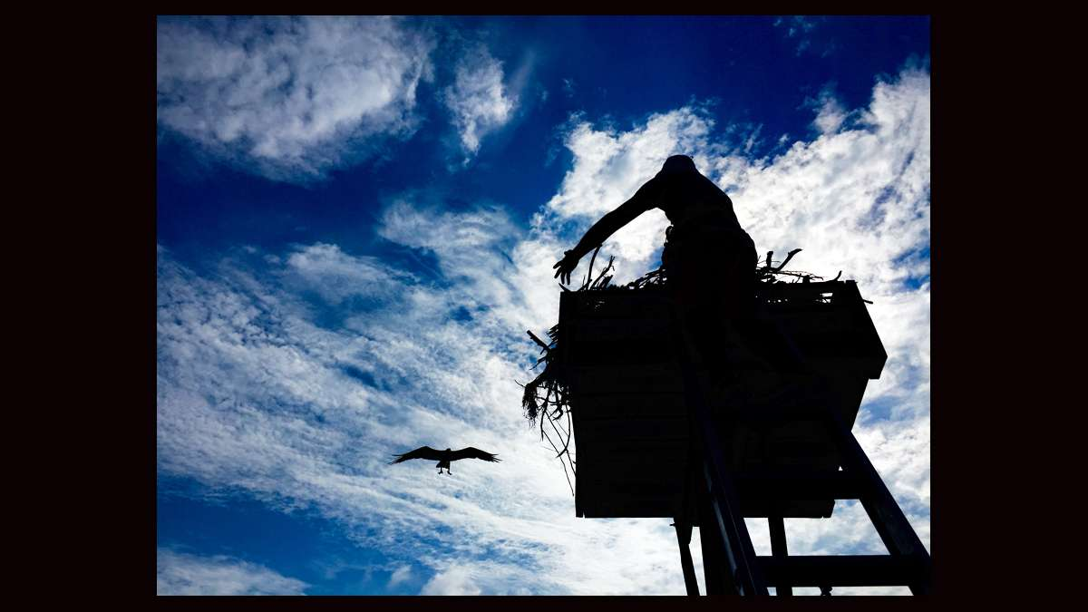 Another close approach by an osprey while Ben Wurst works in a nest. (Justin Auciello for WHYY)