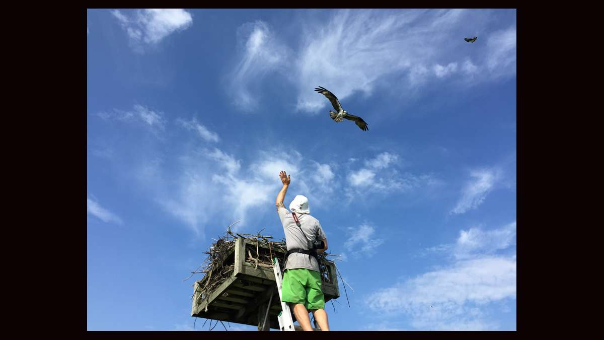 Ben Wurst raises his hand as an osprey approaches the nest. (Justin Auciello for WHYY)