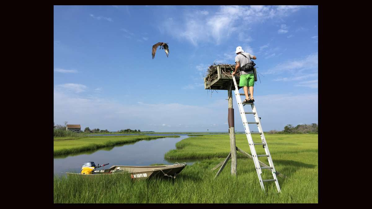 Ben Wurst ready to access an osprey nest. (Justin Auciello for WHYY)