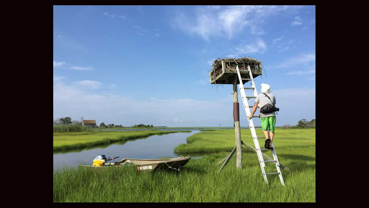 Ben Wurst tagging a chick while the mother osprey passes very close to the nest. (Justin Auciello for WHYY)
