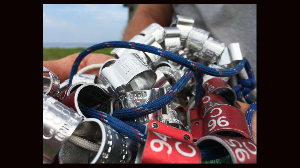Bands used to identify ospreys. (Justin Auciello for WHYY)