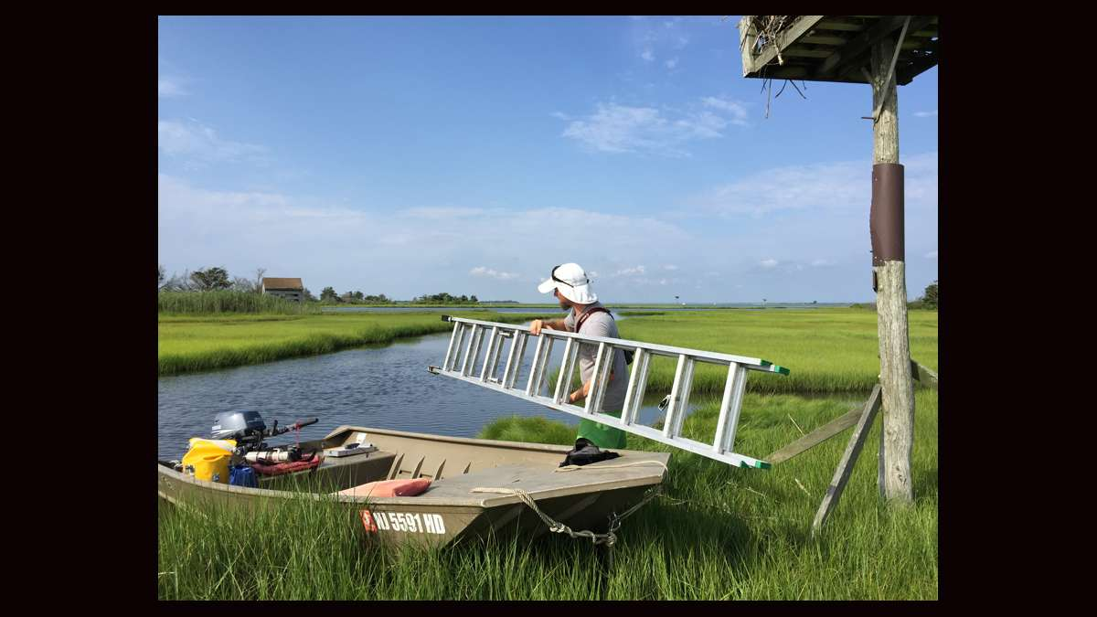 Ben Wurst unloading a ladder from the boat to access an osprey nest. (Justin Auciello for WHYY)