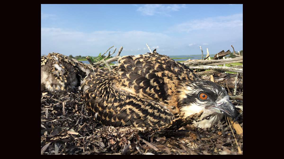 Osprey chicks huddling in the nest. (Justin Auciello for WHYY)