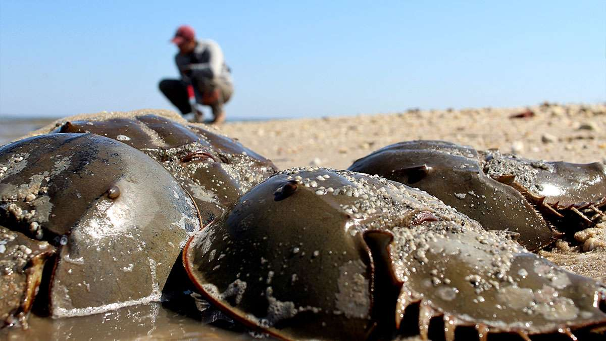 Horseshoe crabs lay eggs that the Red Knot rely on.