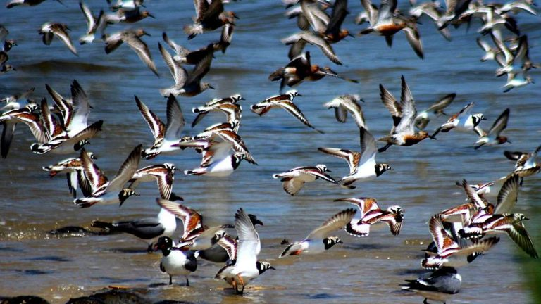 Shorebirds take flight along the Delware Bay in Cape May County, New Jersey.