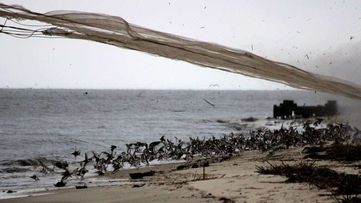 The moment the net is fired over the birds on the beach.
