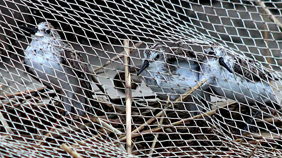 Birds under the net before they are tagged and released.