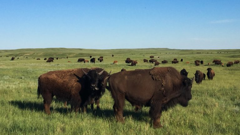 Buffalo on the Fort Peck Reservation. (Courtesy of Amy Martin)