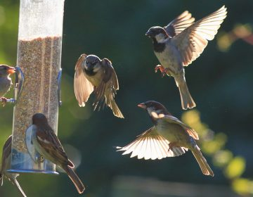 (<a href='https://www.bigstockphoto.com/image-196333975/stock-photo-group-of-sparrows-eating-seeds-from-garden-bird-feeder-on-a-sunny-morning'>tenor</a>/Big Stock Photo)