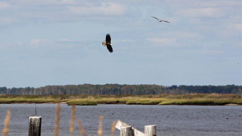 A bald eagle soars above Cedar Creek at Bay Point.
