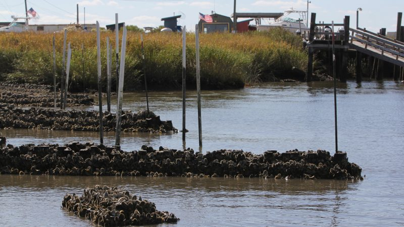Low tide at Money Island exposes man-made oyster towers.