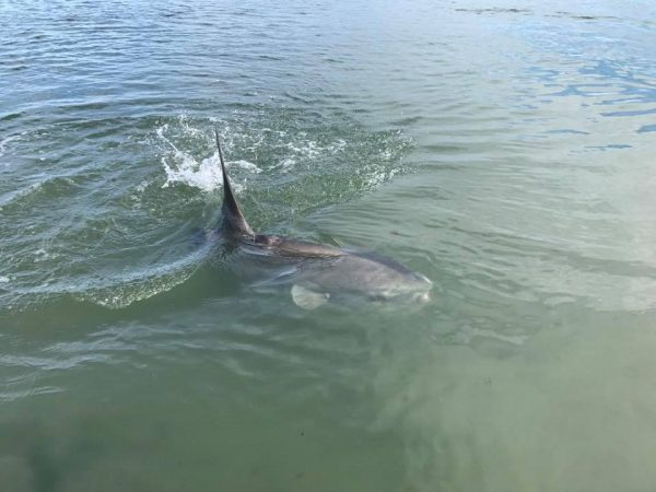 A mola mola in the Barnegat Bay on Tuesday. (Image courtesy of Christian Palmisano)