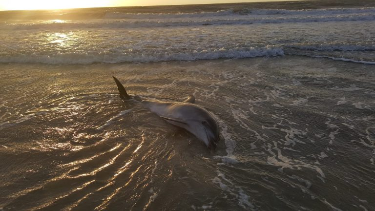 A dolphin washed ashore in Sea Isle City. (Image: Marine Mammal Stranding Center)