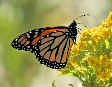 A monarch butterfly in Cape May, New Jersey. (Courtesy of Mark Garland)