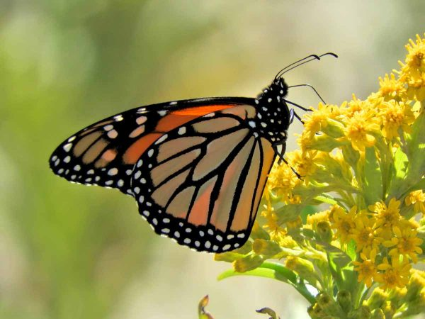 A monarch butterfly in Cape May, New Jersey. (Photo courtesy of Mark Garland)