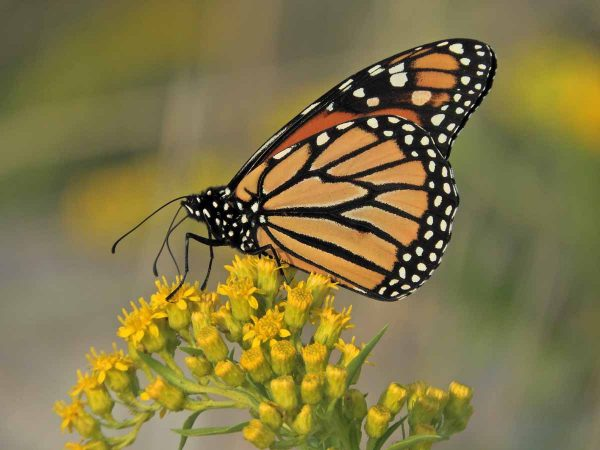 Monarch butterfly in Cape May. (Photo courtesy of Mark Garland)