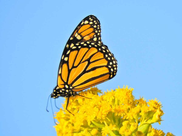 Monarch butterfly seen in Cape May. (Photo courtesy of Mark Garland)