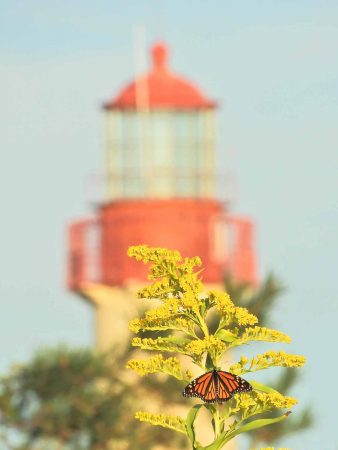 Monarch butterflies don't need lighthouses because they can read the earth's magnetic field like a compass. (Photo courtesy of Mark Garland)