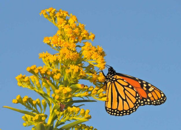 The peak monarch butterfly migration season in Cape May runs from September 1 through October 31. (Photo courtesy of Mark Garland)