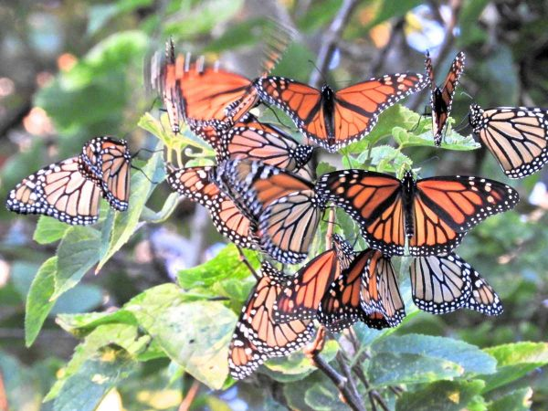 Monarch butterflies stop in Cape May during their 3000 mile migration from Canada to Mexico. (Photo courtesy of Mark Garland)