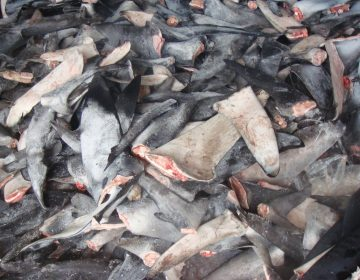 A pile of shark fins. (Courtesy of Oceana/Ricardo Roberto Fernandez Martinez)