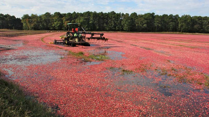 Heavy equipment; harvester working a cranberry bog