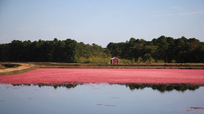 A little red house in the distance, across a red bog of cranberries