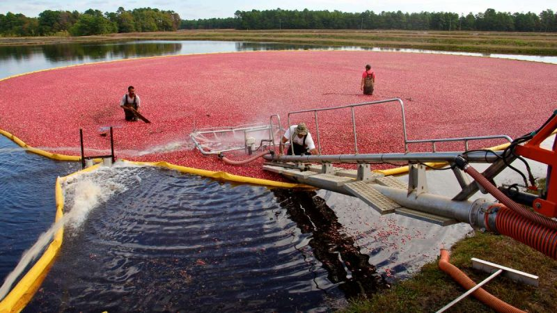 Cranberries are corralled
