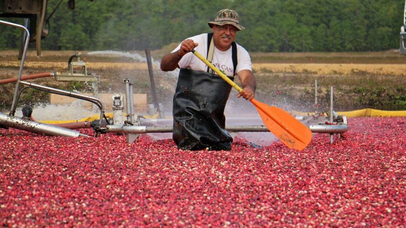A man in waders holding a paddle smiles at the camera, thigh deep in a cranberry bog