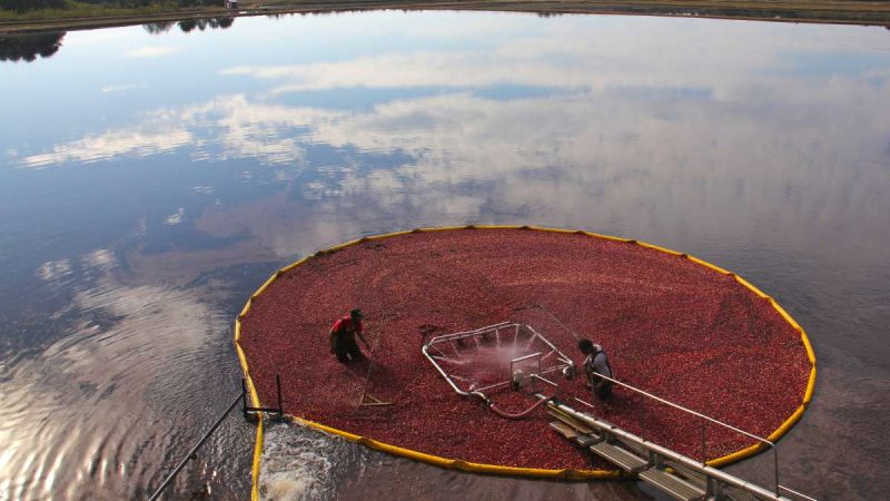 Cranberries are corralled tighter