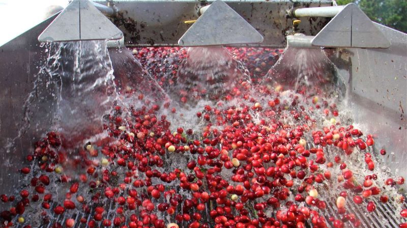 Water sprays, rinsing the cranberries