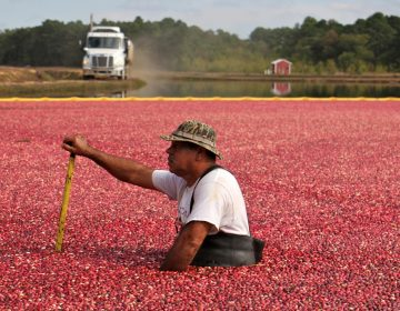 A cranberry farmer in waders waist deep in a bog