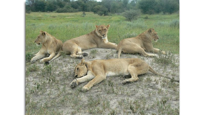 A pride of lionesses lounge