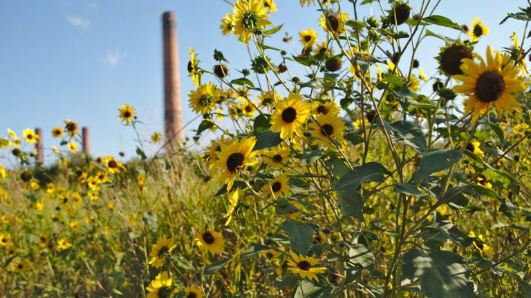 Sunflowers blossom alongside railroad tracks in St. Louis. These meadows, which contain both native and invasive plants, serve as essential wildlife habitat in the city. (Boyce Upholdt/for WHYY)