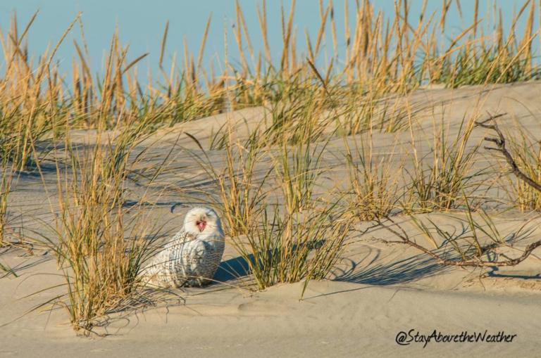 A Long Beach Island snowy owl. (Image: Stay Above the Weather)