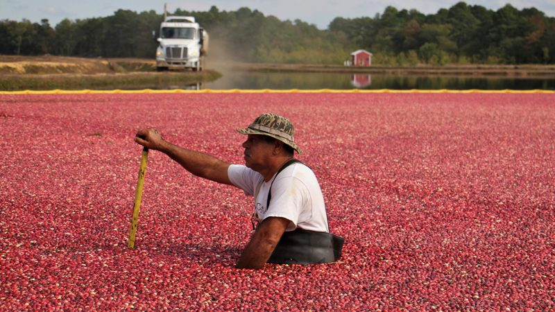 A Pine Island Cranberry worker waits for the arrival of a truck to begin the harvest. (Emma Lee/WHYY)