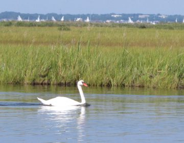 A swan swims in Barnegat Bay in Toms River, N.J.