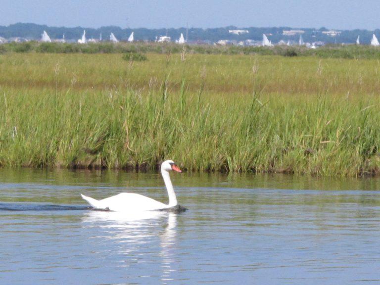 A swan swims in Barnegat Bay in Toms River, N.J.