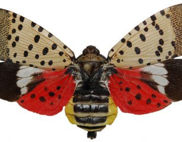 The spotted lanternfly is the insect behind the Christmas tree quarantine. (Pennsylvania Department of Agriculture)