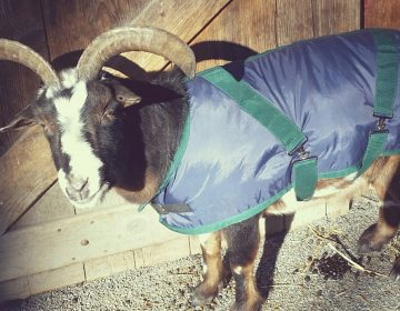 Duncan, the 14-year-old Nigerian dwarf goat, wears his
