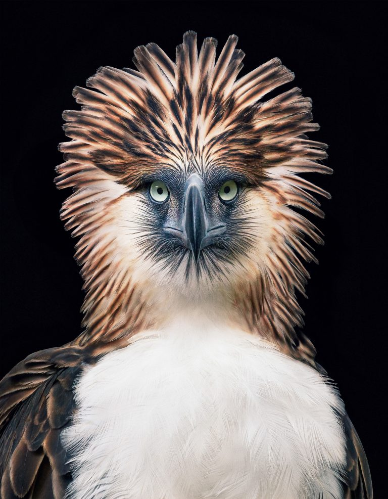 The Philippine eagle Pithecophaga jefferyi faces extinction from mining, pollution and poaching. (Tim Flach)
