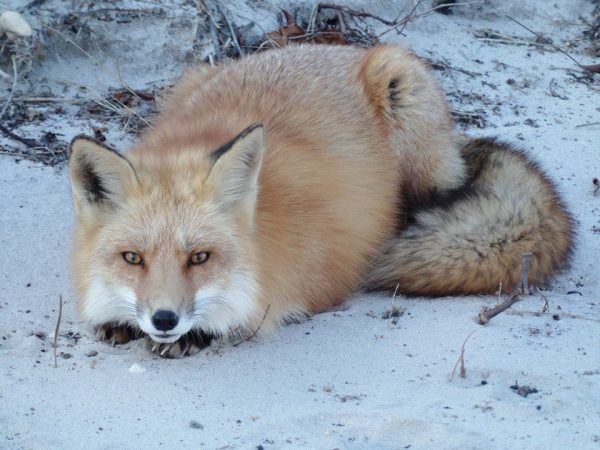 An Island Beach State Park red fox by JSHN contributor Ann Simpson.