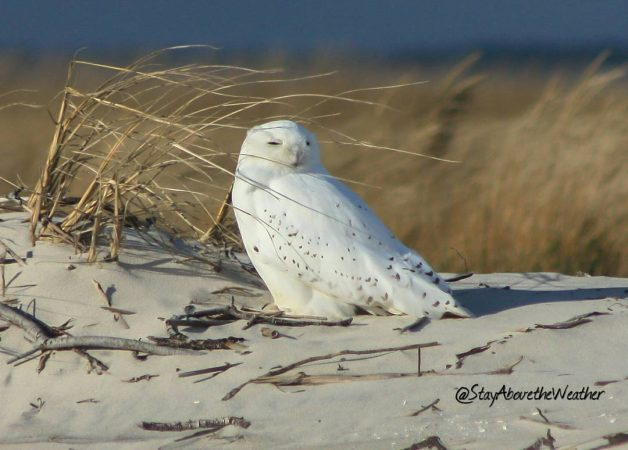 A Long Beach Island snowy owl by Stay Above the Weather (@StayAbovetheWeather/Instagram)
