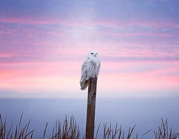 An Island Beach State Park snowy owl in January 2018 by @michelle_torcicollo_ as tagged #JSHN on Instagram.