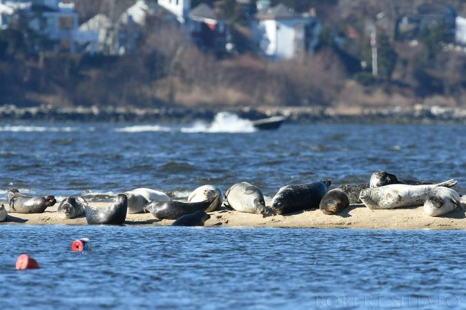 Seals resting off Sandy Hook by Robert Siliato Photography.