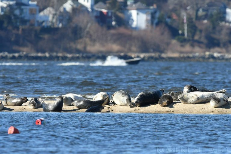 Seals resting off Sandy Hook. (Robert Siliato Photography)
