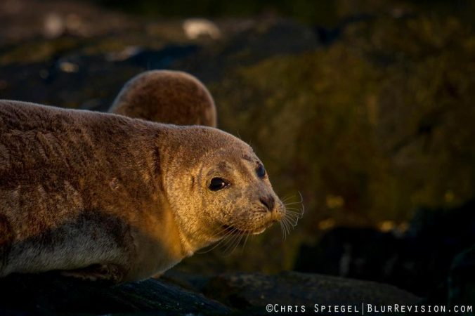 A seal resting in Ocean Grove by Blur Revision Media Design's Chris Spiegel.